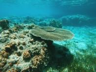 Apid Sanctuary Plate Coral